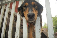 Curious (Wet Paint Opera) Tags: dog face animals delete10 fence delete9 delete5 delete2 montana head delete6 delete7 save3 delete8 delete3 delete delete4 save save2 save4 critters helena curious deletedbydeletemeuncensored