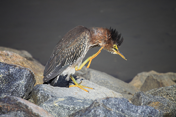 090909_greenHeron02