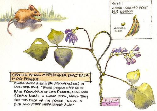 Amphicarpa Brachteata - Hog peanut