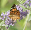 Oh Happy Day (hotes trinkets/DaydreamingKat) Tags: autumn ohio macro nature butterfly flickr bokeh butterflybush paintedlady vanessacardui cosmopolite thistlebutterfly ohhappyday straightfrommycamera anawesomeshot nocolorsadded sonyalphadslra700 absolutelynatural hotestrinkets beercanlens70210mm autumnourplace
