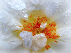 Harmat / Dew_IMG_9002 (jobcibi) Tags: white flower nature rose canon drop explore gelb dew tau 1001nights blume weiss tropfen weis nvny fehr csepp rzsa masterphotos harmat ysplix 100commentgroup canonpowershotsx110is
