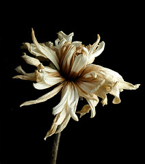 (Issy x) Tags: flower lit deadflower chrysanthamum