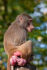 2009-10-08-17h04m08.IMG_9521l (A.J. Haverkamp) Tags: germany zoo krefeld hamadryasbaboon papiohamadryas dierentuin mantelbaviaan canonef300mmf4lisusmlens httpwwwzookrefeldde