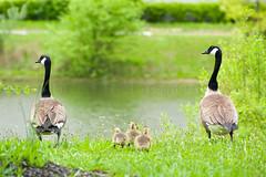 OK... look both ways before crossing the pond! (paulo007) Tags: summer bird geese pond nikon goose gosling 70300 d700 nikon70300f456vr paulo007