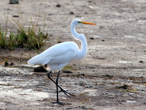 Great Egret 20091013