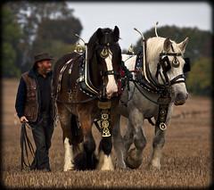 Beau & Zebedee (strussler) Tags: england horses canon eos westsussex shire heavy percheron ploughing sladefarm rogate ef100400l 5dmkii allenglandploughingchampionship