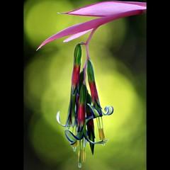 Queen's Tears Curlz.... (Mary Trebilco) Tags: pink blue light flower macro green nature canon garden spring bokeh curls bromeliad blooms curlz queenstears billbergianutans platinumheartaward macroflowerlovers canoneos1000d ayearinmygarden