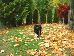 Fable 10-30-09 3 (NewfyMama) Tags: autumn fall newfoundland puppy play soccer blackdog fable newfy