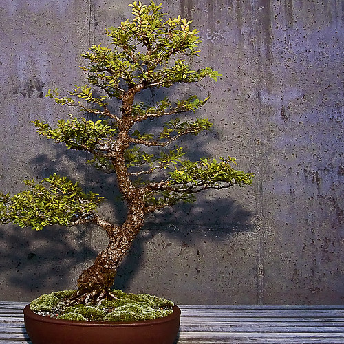 Bonsai is the reproduction of natural tree