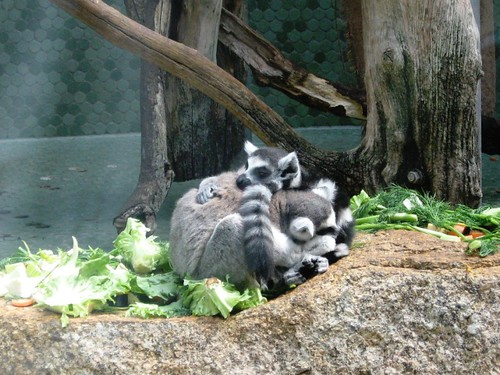 Cuddly raccoons