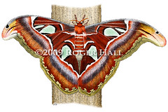 Atlas Moth (Roger D Hall) Tags: art animal illustration drawing wildlife moth insects atlas attacus