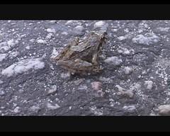 Mantidactylus sp. (Arthur Chapman) Tags: video frog madagascar unidentified ranomafana anura amphibia tinyfrog taxonomy:order=anura taxonomy:kingdom=animalia taxonomy:phylum=chordata mantidactylus mantellidae geocode:accuracy=2000meters geocode:method=googleearth geo:country=madagascar taxonomy:genus=mantidactylus taxonomy:family=mantellidae