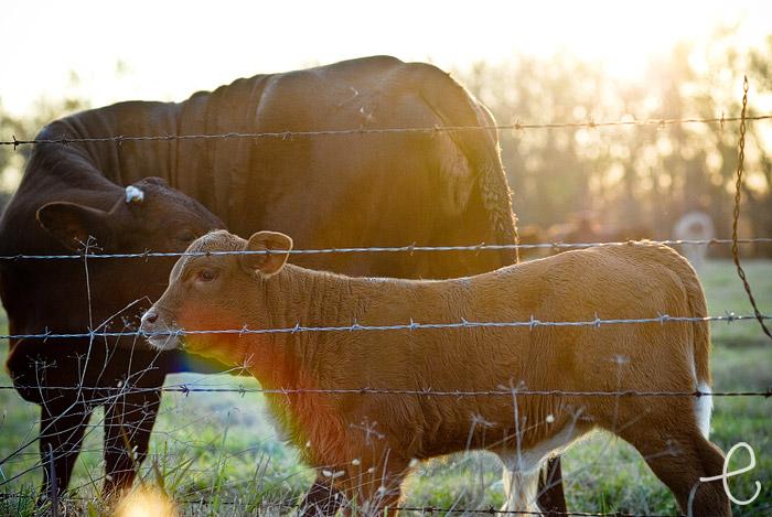cow extravaganza 09