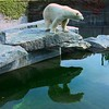 Eisbär - Reflektion , 275 (roba66) Tags: animal animals zoo tiere stuttgart polarbear tierpark tier refection bär wilhelma ber botgarten wilhelma09 lovely~lovelyphoto travelsofhomerodyssey mtrtrophyshot eisbäe roba66 bawürtt zoolgarten