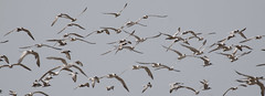 Gulls & Terns (john164694) Tags: india birds maharashtra konkancoast akshibeach