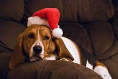 Stupid Santa (Back Road Photography (Kevin W. Jerrell)) Tags: santa pets cute beagle dogs animal slow dumb fat lazy stupid santahat useless bassett dense irritating lovable housepets nikond60