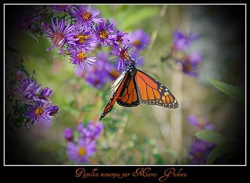 Papillon Monarque!