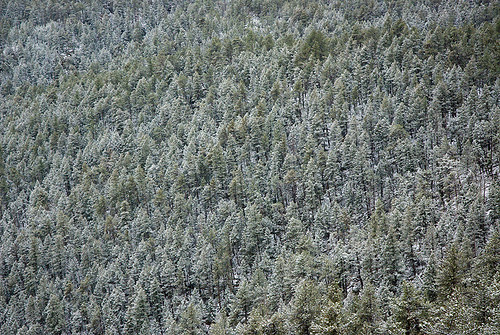 An Ocean of Christmas Trees