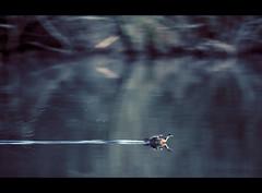 Painted landing (sparth) Tags: seattle lake bird water animal painting washington drops dof action flight landing blurs sammamish lakesammamish 100400l 5dmarkii