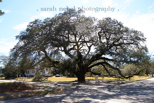 . the big oak tree .