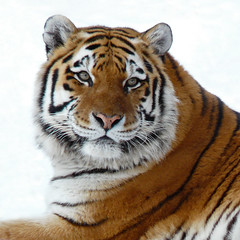 The Tiger (njchow82) Tags: winter portrait snow nature closeup wildlife tiger calgaryzoo endangeredspecies amurtiger yearofthetiger potofgold animaladdiction beautifulexpression specanimal worldofanimals dmcfz18 itsazoooutthere njchow82 hganimalsonly