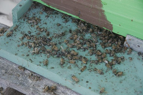 Bottom board covered in dead bees by johnpaulgoguen, on Flickr