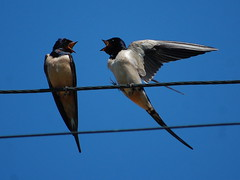 Swallows on a wire, Bulgaria. (Sky and Yak) Tags: bird barn wire bulgaria swallow migrate