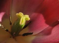 illuminated (Sue323 :-)) Tags: summer macro canon suomi finland tulip sue kesä kerimäki kukka anttola canonpowershota710is pinoykodakero sue323 laaksoimages