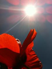 iphone Sky & Poppy (10) (gneil45 AKA Neil Graham) Tags: flowers blue red sky sun flower lensflare poppy cornflower iphone appleiphone iphone4 appleiphone4 wildtimesmay2011