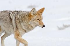 Cruising on By (dbushue) Tags: coyote nature nikon wildlife yellowstonenationalpark wyoming ynp 2014 coth supershot songdog specanimal damniwishidtakenthat coth5 sunrays5 dailynaturetnc13 photoofthedaynwf13 vision:outdoor=0984 dailynaturetnc14 photoofthedaynwf14