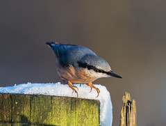 Nuthatch (Steve C Waddingham) Tags: stevenwaddinghamphotography bird wild nature countryside song nut hole tree winter flickr photography