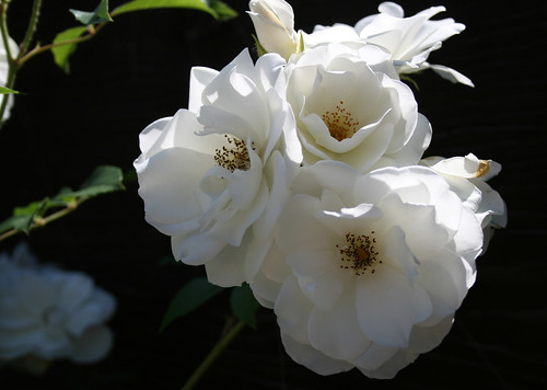Climbing Iceberg Rose. climbing iceberg roses blooming middot; Climbing