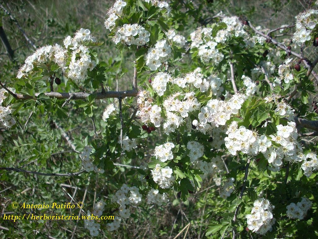 Espino albar(Crataegus monogyna Jacq)
