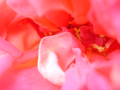 colorful :) (Elbieta Malorz) Tags: flower rose kwiat ra vosplusbellesphotos