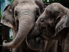(ezken29) Tags: elephant zoo   supertakumar135f35