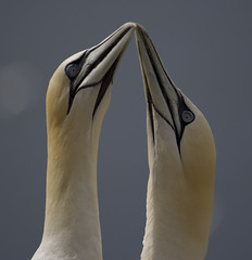 Scotland (richard.mcmanus.) Tags: uk birds scotland wildlife gannets digitalphotography mcmanus birdwatcher bassrock doubledragon birdsbirdsbirds naturesgarden worldofanimals crazyaboutnature globalbirdtrekkers naturegreenstar worldnatureclose