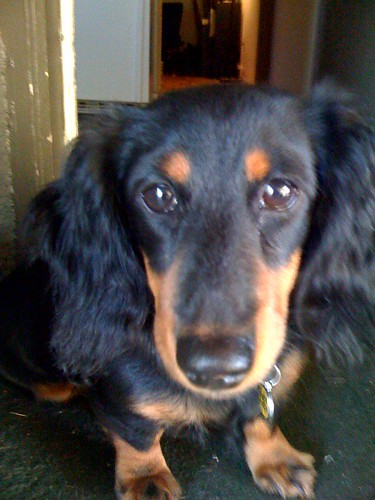 "The red colour · Long-haired black and tan miniature daschund named ""Daphne"""
