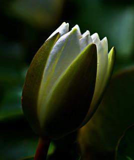 Knop Witte waterlelie - Bud of European White Waterlily or White Lotus - Nymphaea alba