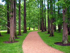 dawn redwood trees (tammybeck) Tags: trees ny newyork tree nature nikon redwood 2009 purchase hdr pepsico dawnredwood digitalcameraclub westchesterco allphotoswanted