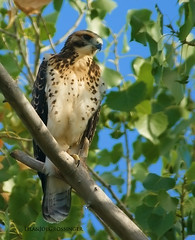 Swainson's Hawk (Birdman of El Paso) Tags: texas hawk tx sony joe el lila explore paso tamron birdman fledgeling swainsons 200500mm a350 grossinger
