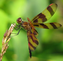 Halloween Pennant - Georgia mountains (Vicki's Nature) Tags: male canon georgia ode dragonfly s5 pennant odonata halloweenpennant celithemiseponina odonate natureoutpost brasstownevalley vickisnature beautifulworldchallenges vosplusbellesphotos bwcgspotsstripes bwcgstripes
