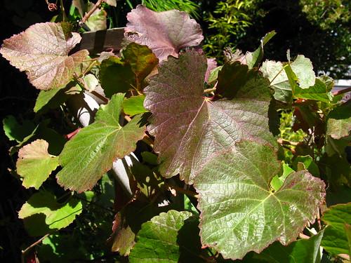 2009-08-01 garden; Vitis californica
