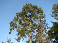 Tall gum tree by our house (kahunapulej) Tags: tree gum png papuanewguinea ehp niugini easternhighlandsprovince kahunapulej kahunapule