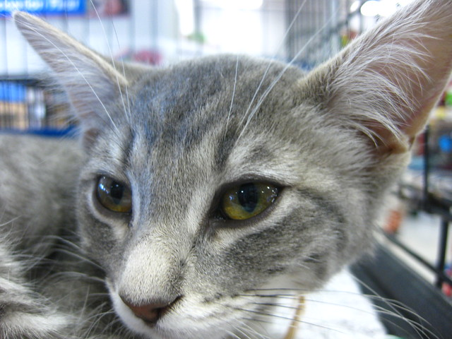 AVAR kittens  ADOPTED by MendocinoAnimalCare
