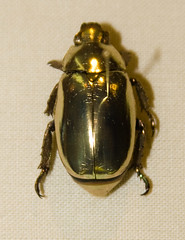 CD466 Jewel Scarab - Chrysina resplendens (listentoreason) Tags: usa color nature animal closeup america canon insect gold newjersey unitedstates beetle favorites places animalia arthropoda scarab invertebrate arthropod coleoptera scarabbeetle tomsriver insecta scarabaeidae pterygota rutelinae neoptera endopterygota ef28135mmf3556isusm score30 goldcolored bugmuseum insectidentification scarabaeoidea jewelscarab chrysina insectropolis rutelini animalidentification bugseum
