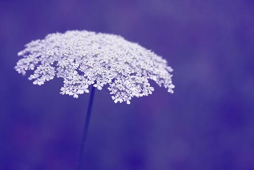 フリー画像| 花/フラワー| クィーズ・アンズ・レース| 紫色/パープル|        フリー素材|