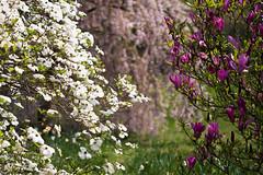 spring Blossom (matpreec) Tags: flowers trees cherry spring blossom arboretum april magnolia dogwood prunus cornus floweringtrees