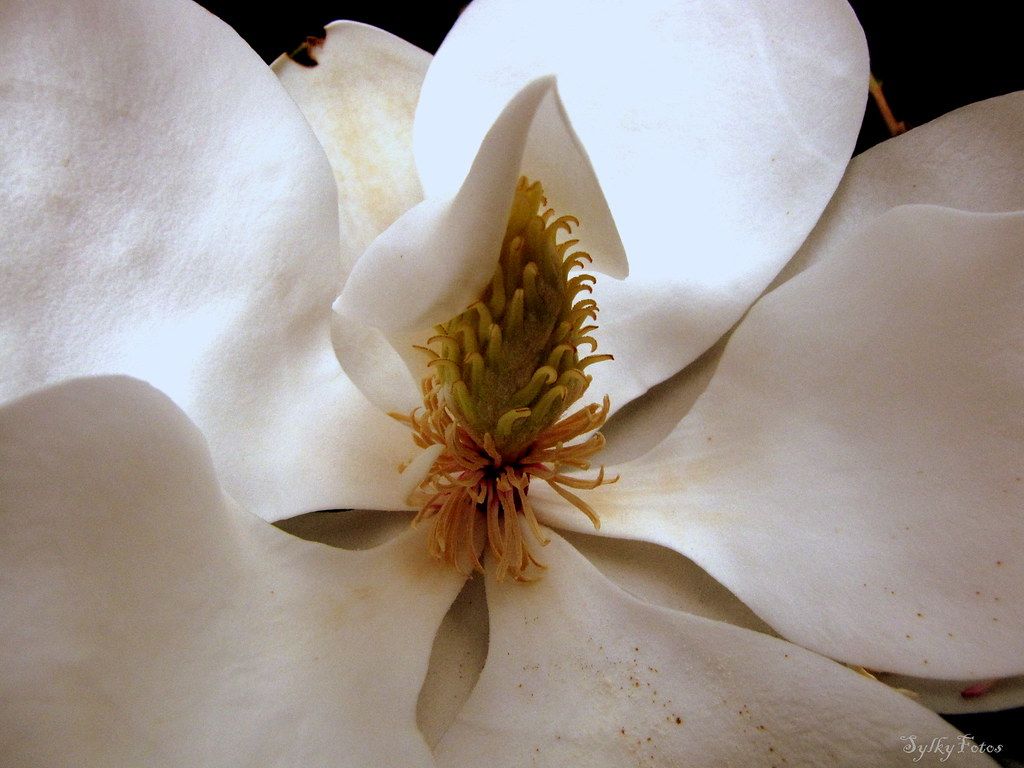 Yes, another magnolia shot. Pollen fell upon the petals to create yet more life.