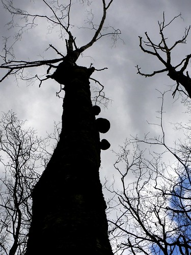Tree with shelf fungi