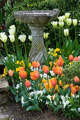 42016 (Clive Nichols) Tags: green bird urn stone bulb spring bath little wildlife container pot tulip irene worcestershire tulipan prinses larford clivenichols wwwclivenicholscom flickrtulips